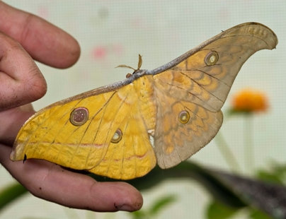 gynandromorph-moth.jpg
